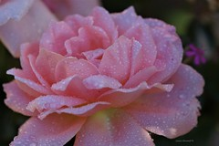 Wet Pink Rose (Anton Shomali - Thank you for over 1 million views) Tags: nature wetpinkflower wetflower flower flowers garden backyard summer seeds pink rose water droplets drops wet wetpinkrose rain aftertherain