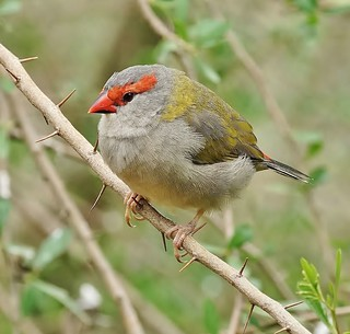 Red-browed Finch on a very prickly perch
