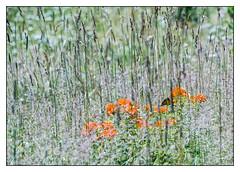 The Season's First Monarch. (GAPHIKER) Tags: butterfly milkweed butterflymilkweed field backyard monarch asclepiastuberosa butterflyweed season first perennial