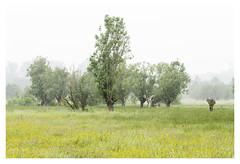 Yellow Carpet, part II (P_Hibon) Tags: belgië gent keuzemeersen bomen bos gras hooiland mist natuurgebied ochtend belgium ghent trees grass yellow naturereserve morning