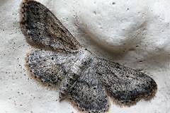Pug moth (Pog's pix) Tags: moth pugmoth wings antennae body white scales detail closeup wildlife nature montrose scotland angus natural highmagnification macro black grey hairy fringes fringed lepidoptera geometridae larentiinae mpe65mm longexposure