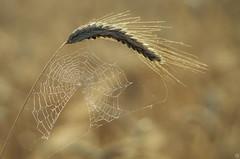 July Morning (Slav.Burn) Tags: grains july morning dew spider web elitegalleryaoi bestcapturesaoi