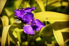 Flowers (corineouellet) Tags: fleurs fleur naturelover québec canada purple color colorsplash nature canoncanada canonphoto canon flower flowers