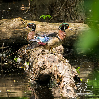 Male Wood Ducks (Aix sponsa), Ontario, Canada