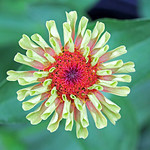 Queen Lime Orange Zinnia, looking regal even before all its petals of formed and unfurled. thumbnail
