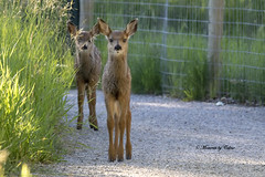 The Encounter! (Canon Queen Rocks (2,170,000 + views)) Tags: fawn fawns deer young small animals wild wildlife nature ears momentsbycelinecom explorenature
