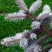 "Cincinnati – Spring Grove Cemetery & Arboretum ""Blue Spruce Needles Over Green Grass"""