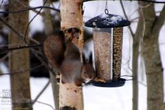 Red Squirrel (PeepeT) Tags: finland redsquirrel sciurusvulgaris orava