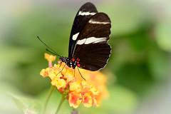 Butterfly (Jim Skovrider) Tags: afsvrmicronikkor105mmf28gifed adobephotoshoplightroom d800 danmark denmark macro micro nikon nikond800 nikonfx randersregnskov sb900 animal animalsincaptivity nikkor zoo