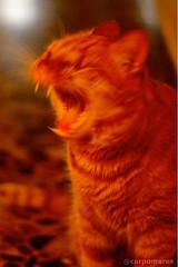 Elmo (9082) (carpomares) Tags: gato cat gat naranja
