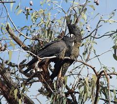 Oh all right. (ron_n_beths pics) Tags: westernaustralia perthbushlands birds
