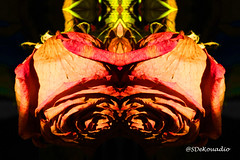 Roses #hypnotique (Stephenie DeKouadio) Tags: abstractflower abstract abstractart abstractflowers artwork art artistic hypnotique flowers flowersabstract flowerabstract flower beautiful beauty darkandlight light colorful macro macrophotography macroabstract shadow shadows roses rose