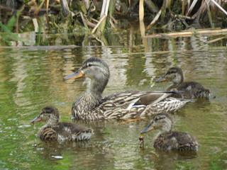 Mallard Duck (Anas Platyrhynchos)(Family)