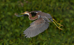 Tricolored Heron (Gary McHale) Tags: trees tricolored heron flying flight circle b bar reserve lakeland florida gary mchale