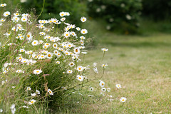 Daisies (oandrews) Tags: 30dayswild canon canon70d canonuk flora flower flowers leucanthemumvulgare nature naturereserve norfolk outdoors oxeyedaisy petals plant plants quarry ringsteaddowns trees wildlifetrusts woodlandgarden ringstead england unitedkingdom gb