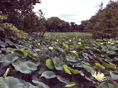 """the lilies at lichterman (""""One who sits by the fire"""") Tags: lilies waterlilies nature lichtermannaturecenter memphis tennessee water pond forest foresttrail hiking hikingthroughtheforest"""