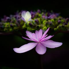 Low-key Macro. (Omygodtom) Tags: lowkey flower flickr existinglight macro tamron tamron90mm nature nikon 7dwf zap joggers flora fleur