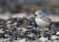 Piping Plover Chick (Endangered Species) (arlene sopranzetti) Tags: piping plover chick belmar nj endangered species sea shore