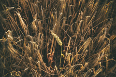 Alone In The Crowd (nigdawphotography) Tags: field wheat barley crop arable grain harlow essex harlowtye