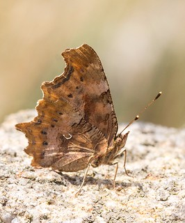 Comma Butterfly resting on a rock