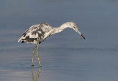 Little Blue Heron (Gary McHale) Tags: little blue heron fort myers florida gary mchale second year immature ngc npc