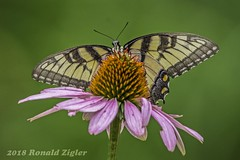 Tiger Swallowtail Butterfly on Purple Coneflower IMG_1127 (ronzigler) Tags: coneflowers flower animal arthropod invertebrates insect butterfly swallowtail tiger