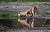 A lion drinking water (takashimuramatsu) Tags: lion drinking water ngorongoro crater safari nikon d850 reflection