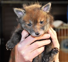 Orphaned Fox Cub. (pstone646) Tags: fox cub wildlife nature animal fauna thefoxproject kent safe mammal