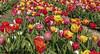SZ-Salder, Blumen im Blumenfeld (bleibend) Tags: 2018 em5 leicadgsummilux25mmf14 omd salder salzgitter salzgittersalder blumen flowers frühling m43 mft natur nature olympus olympusem5 olympusomd spring