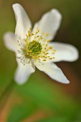 Windflower (pstenzel71) Tags: blumen natur pflanzen darktable bokeh samsungnx flower buschwindröschen windflower thimbleweed anemonenemorosa spring