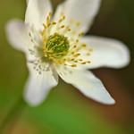Windflower thumbnail