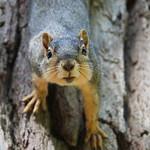 Squirrels in Ann Arbor at the University of Michigan (June 26th, 2018) thumbnail