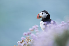 Puffin in Thrift (Daniel Trim) Tags: fratercula arctica atlantic puffin bird birds birding amongst thrift with flowers purple saltee island ireland nature wildlife photography animal pink flower