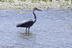 Héron (Christian Thepaut) Tags: birds oiseaudeau héron
