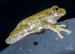 Profile (ScreaminScott) Tags: toad amphibian