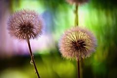 macro - Aigrettes de pissenlit et ses akènes à plumes (thierrybalint) Tags: flower pissenlit nikon nikoniste plant lemon aigrettes egrets balint thierrybalint