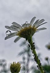 DSC07430rx100IV-1 (jaaselin) Tags: suomi finland finlandsnature nature pirkkala taivas sataa rainyday päiväkakkara vesipisarat raindrops rain green kukkia flowers plants sonyrx100 luontokuvaus sadepäivä