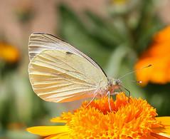 Butterfly (LuckyMeyer) Tags: flower fleur blume blüte orange sun insect makro schmetterling