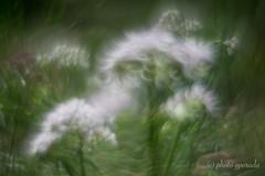 Bokeh Delirium ... (gporada) Tags: helios helios44m4258mm sonya7ii ilce7m2 bokehexperiment soft swirly flower macro bokeh backlit naturallight m42 wideopen