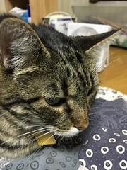 Tigger Wonders Why we Invited a Tigger to the Futon (sjrankin) Tags: 11july2018 edited animal cat closeup futon blanket bedroom upstairs kitahiroshima hokkaido japan tigger