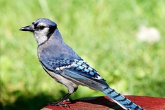Blue Jay (Anne Ahearne) Tags: wildlife nature wild bird animal bluejay closeup blue songbird birdwatching