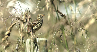 Pipit amongst the grass-