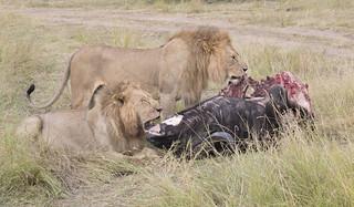 Lions..Cape Buffalo
