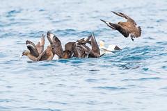 Bonxies mobbing a gannet (ejwwest) Tags: skua islands birds bonxie stercorariusskua gannet wildlife northerngannet bird northatlantic hebrides hirta atlantic greatskua stkilda scotland morusbassanus