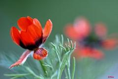 Sounds of spring (yuturjpd) Tags: spring primavera amapolas bokeh a6000 sonye