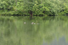 Geese on the Lake (rschnaible) Tags: table rock state park south carolina outdoor landscape the pinnacle lake geese wildlife trees forest woods birds
