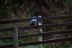 Martín pescador. (CamilaMorales75) Tags: pájaros bird naturaleza nature chiloe chile sur martínpescador nikon d5500 invierno winter