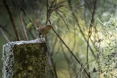 Chochín común (Troglodytes troglodytes) (jsnchezyage) Tags: chochín troglodytestroglodytes ave birtd birding birdwatching ornithology beak feather wren