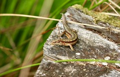 Common or Viviparous Lizard, Blaen Bran, Upper Cwmbran 22 July 2018 (Cold War Warrior) Tags: common lizard viviparous cwmbran blaenbran zootocavivipara