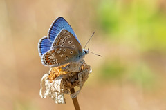 Blue..... (klythawk) Tags: commonblue polyommatusicarus male butterfly wiltingdaisy flower wildlife nature summer blue green orange yellow brown beige black white olympus omd em1mkll 100400mm panasonic leica claypitnaturereserve wildlifetrust sssi wilford nottingham klythawk